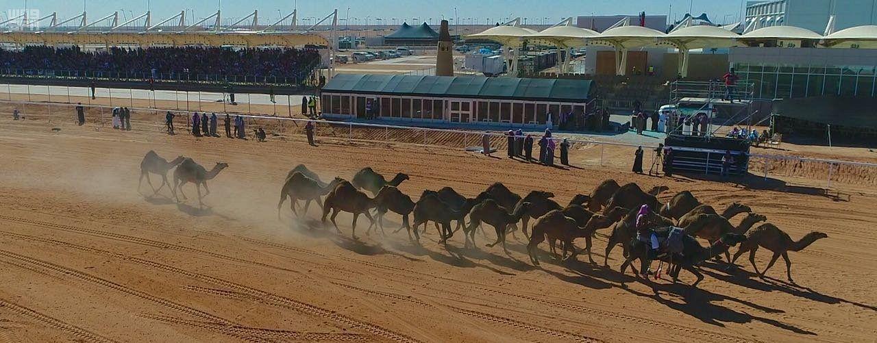 Впервые: конкурс «природных верблюдов» на фестивае им.Короля Абдулазиза