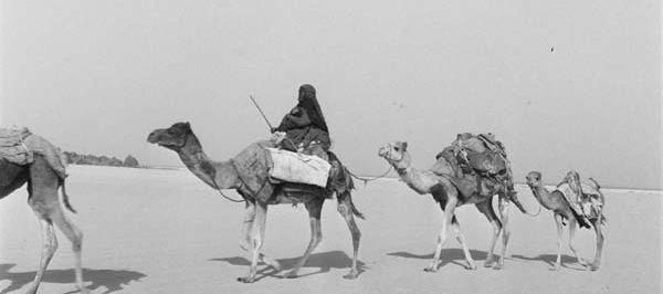 Ретрофотографии верблюдов в Саудии