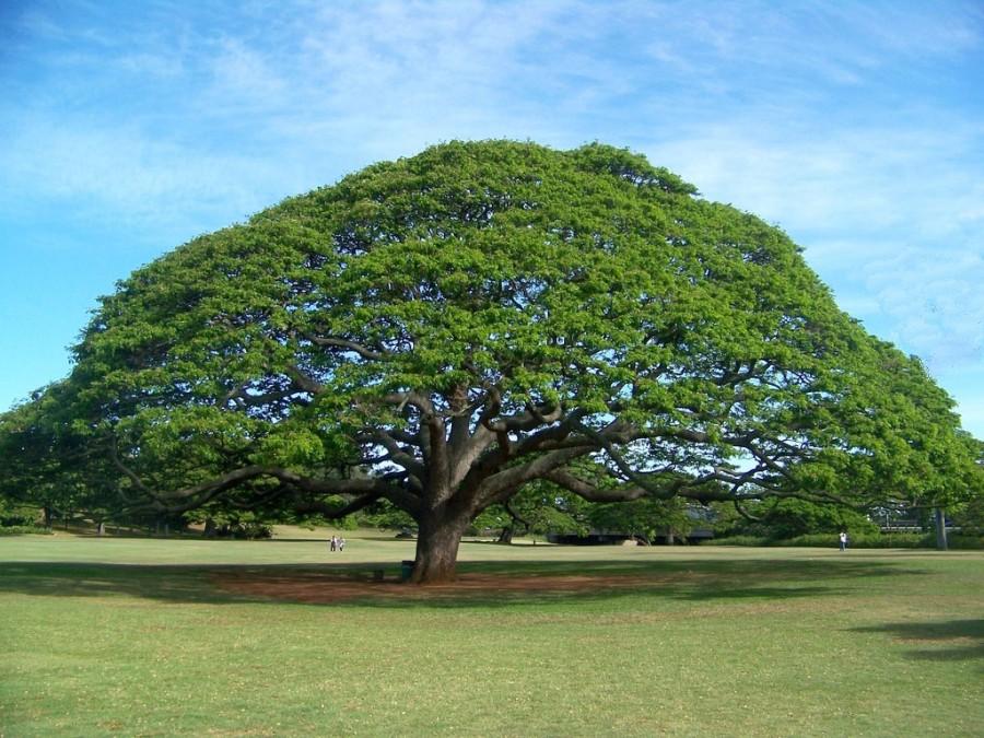Картинки дерева раскидистого