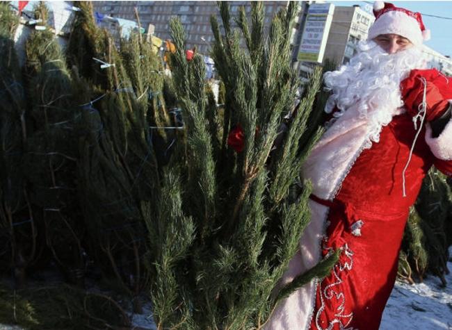 Как выбрать елку на новогодний праздник?