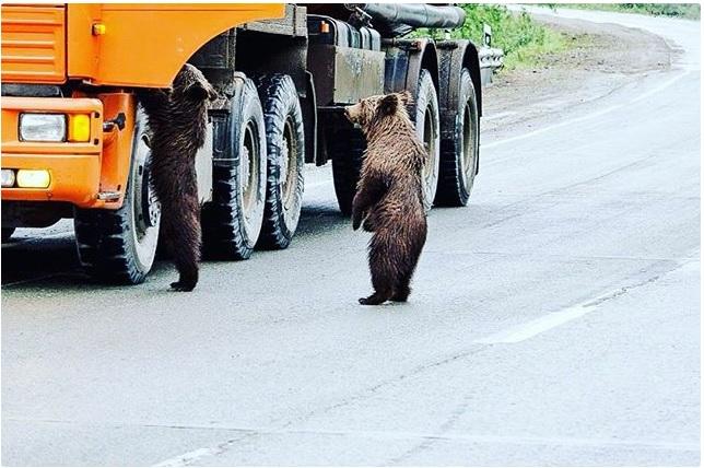 В России медведи на КАМАЗах ездят