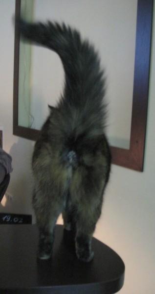 кошка вид сзади