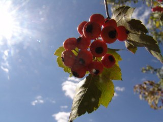 Berries in the Sunshine