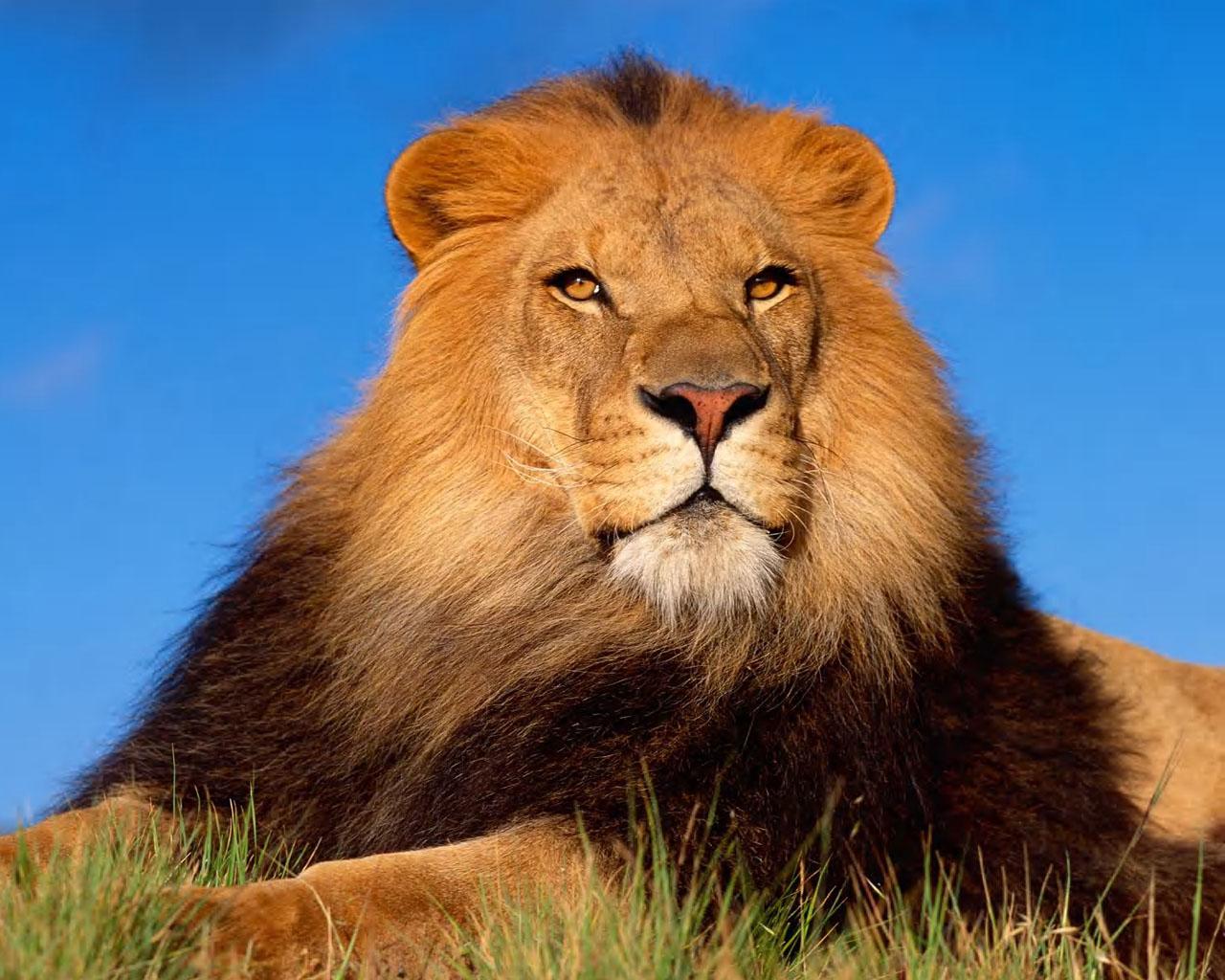 В китайском зоопарке переодетых собак выдавали за львов