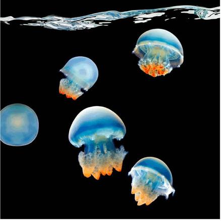 Марк Лайта (Mark Laita) Медузы-корнероты