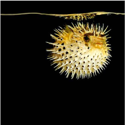 Марк Лайта (Mark Laita) Porcupine Puffer