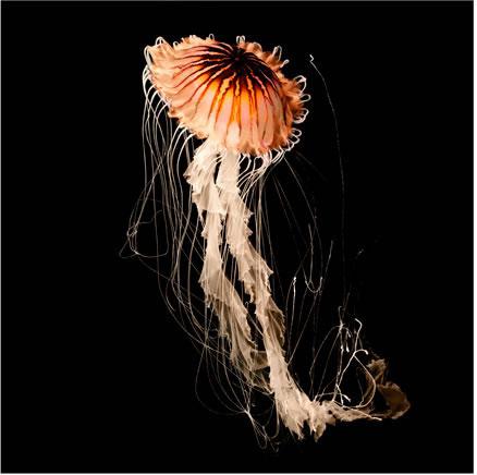 Марк Лайта (Mark Laita) Тихоокеанская медуза