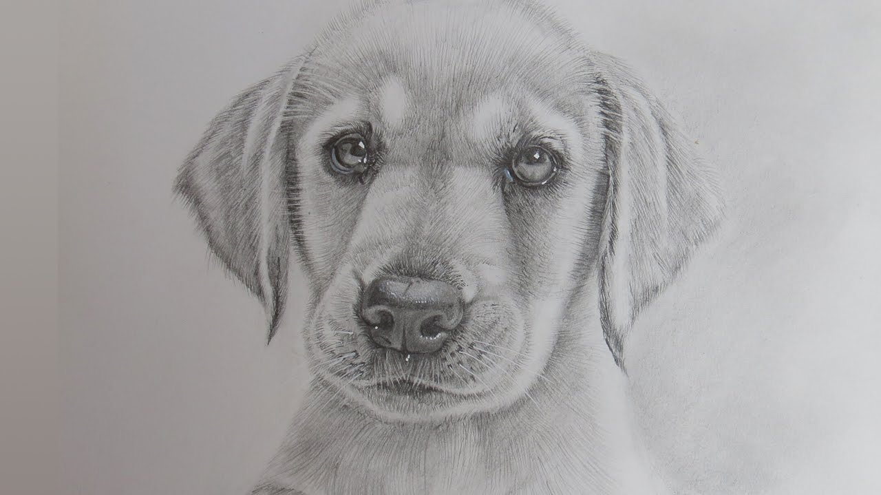 картинки собак лабрадоров карандашом