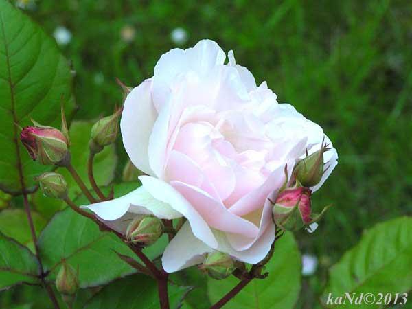 O130604011-rose-Peneloppe600