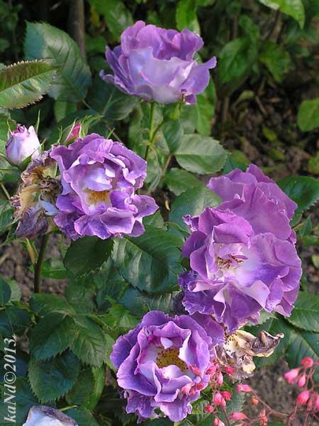 O130604006-rose-Blue-For-You600