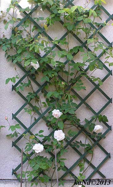 O130604001-rose-Mme-Armand-Carriere600