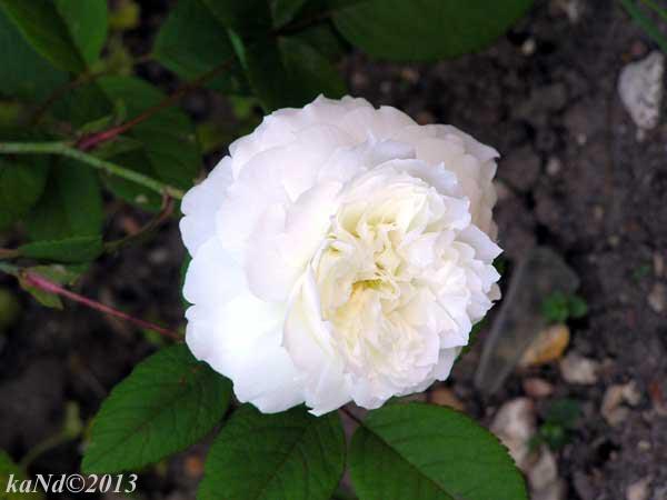 O130604017-rose-Susan-William-Ellis600