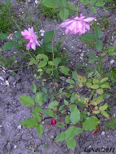 O130604015-rose-Old-Blush-China600