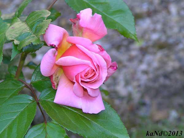 O130604013-Rose-de-Cornouailles600