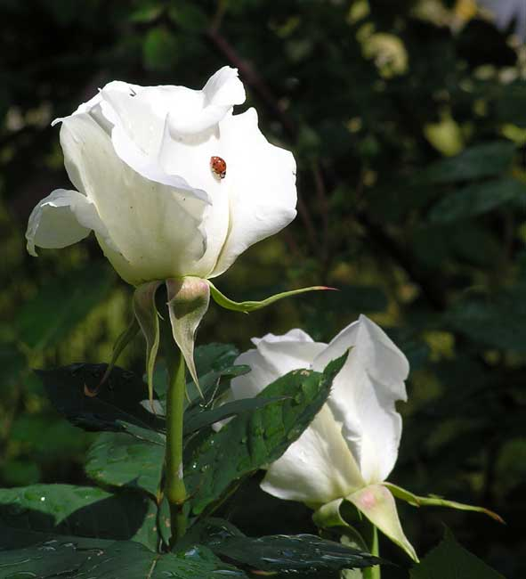 White Rose & ladybird