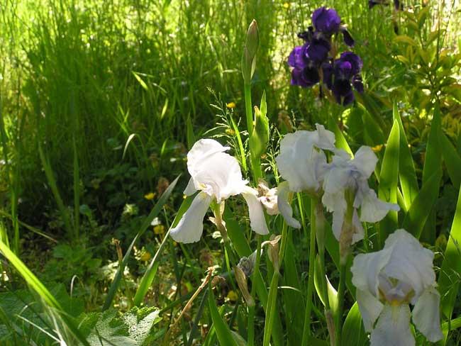 Grey and purple irises