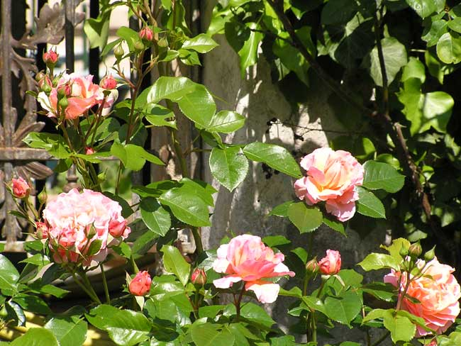 Roses next the well
