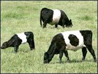Игривые коровы повредили машину