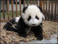 Чай из фекалий панды