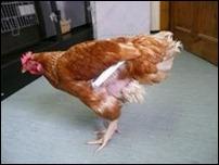 Британская курица получила протез крыла