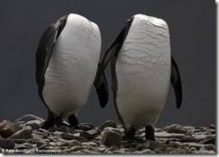 Два пингвина бредут вдоль берега холодного моря в надежде отыскать потерянные головы