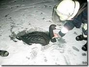 Пожарные спасли лебедя из пластика