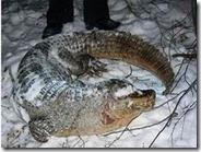 В лесу нашли задушенного крокодила