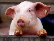 """Скоро появится порода свиней, """"совместимых"""" с человеком"""