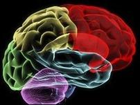 Белковая диета вызывает изменения в  головном мозге
