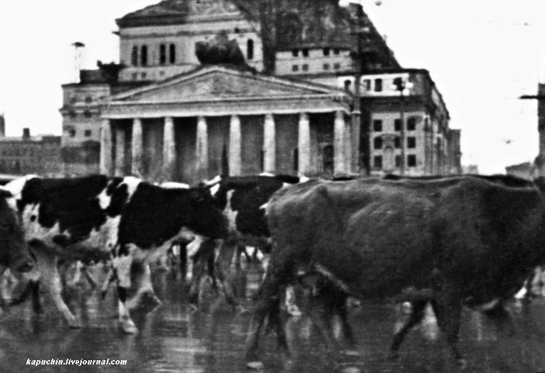 Гурты скота около Большого театра октябрь 1941 года