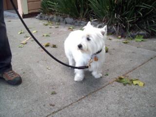 Westie in the Castro