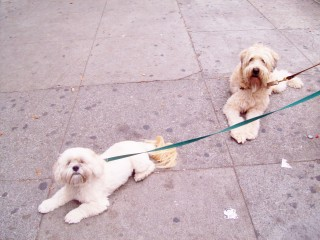 Two dogs on Castro St.