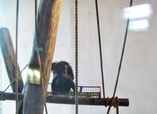 Shy Budongo Chimp at Edingburgh Zoo