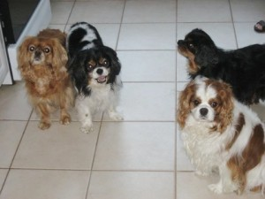 Four King Charles Cavaliers