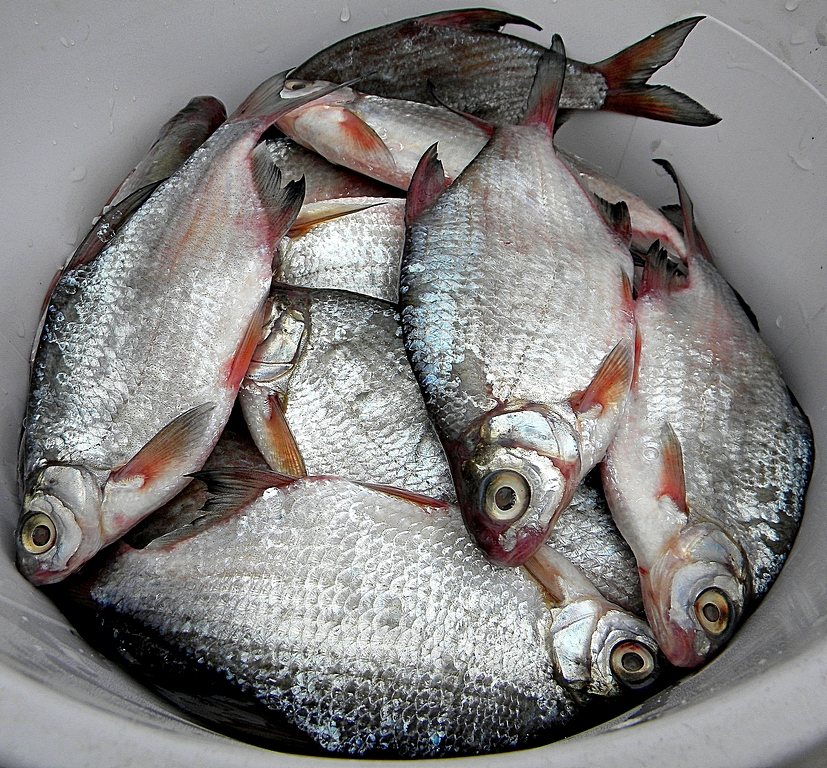 Кругляк рыба на дону фото