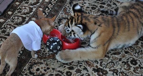 ТАйсон и тигрёнок едят