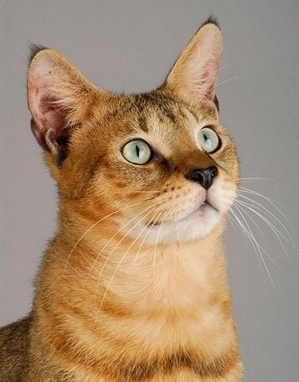 ceausu-cat-1