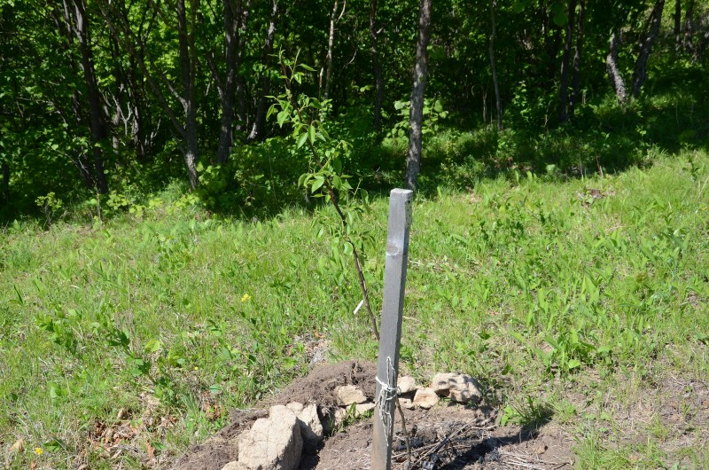 Грушка под защитой леса.