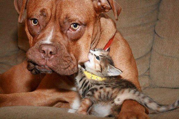 бульдог и котенок
