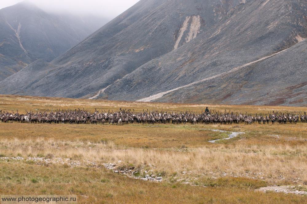 Много оленей и немного людей. 036-5575