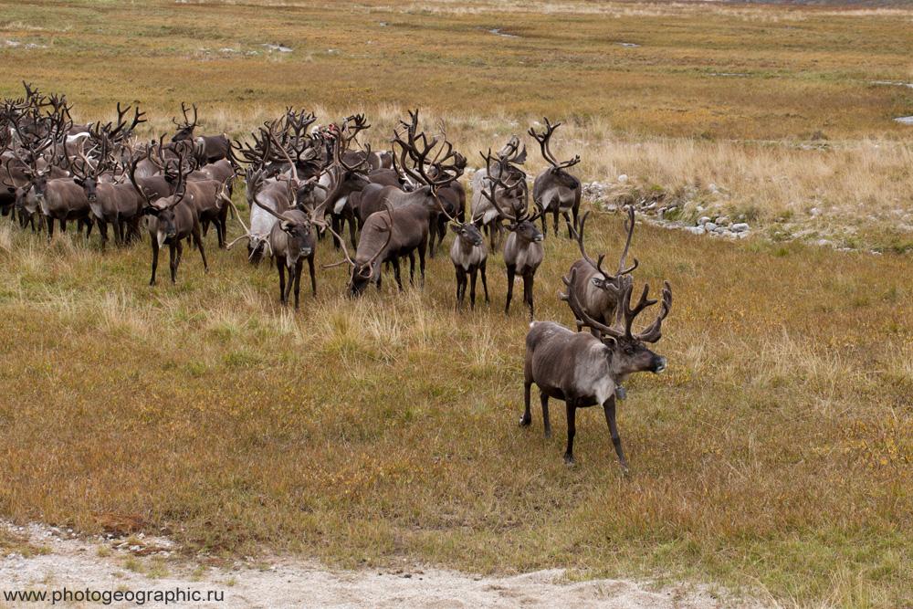 Много оленей и немного людей. 036-5581