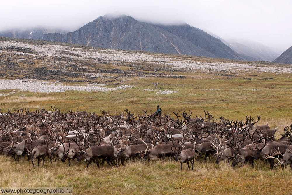 Много оленей и немного людей. 036-5582
