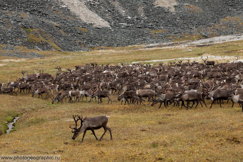 Много оленей и немного людей. 036-5590
