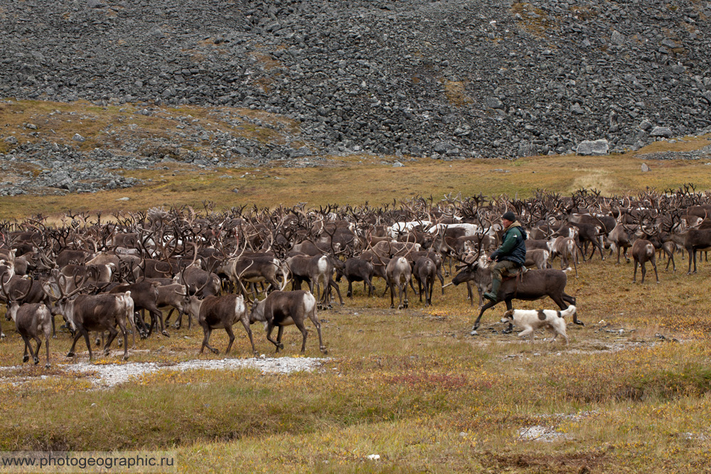 Много оленей и немного людей. 036-5596