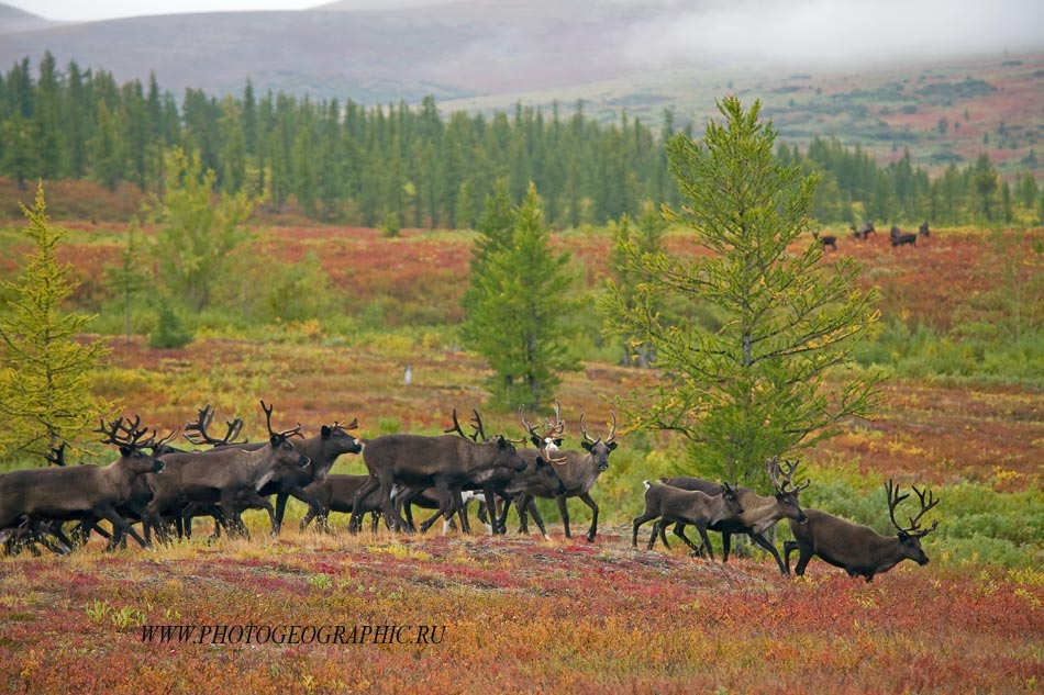 Полярный Урал, олени
