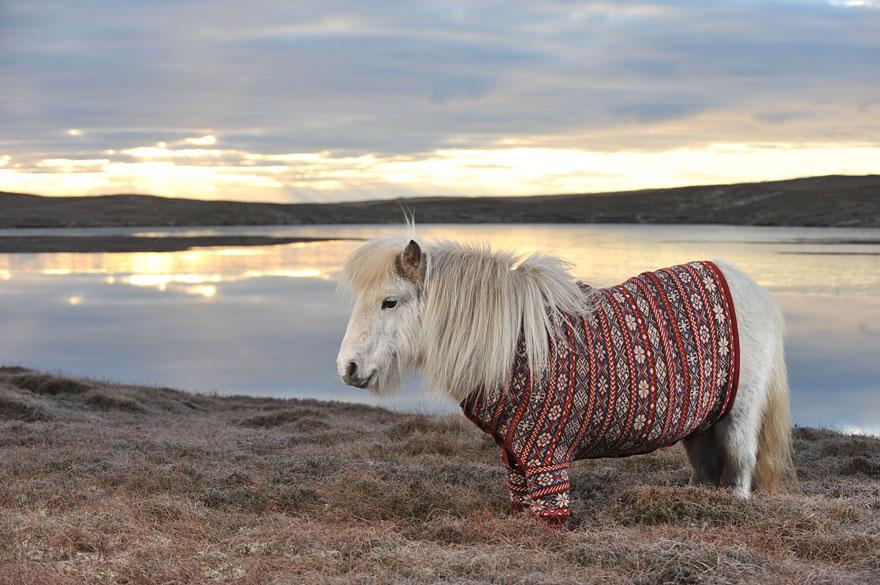 Shetlandskie_poni_odeli_svitera2