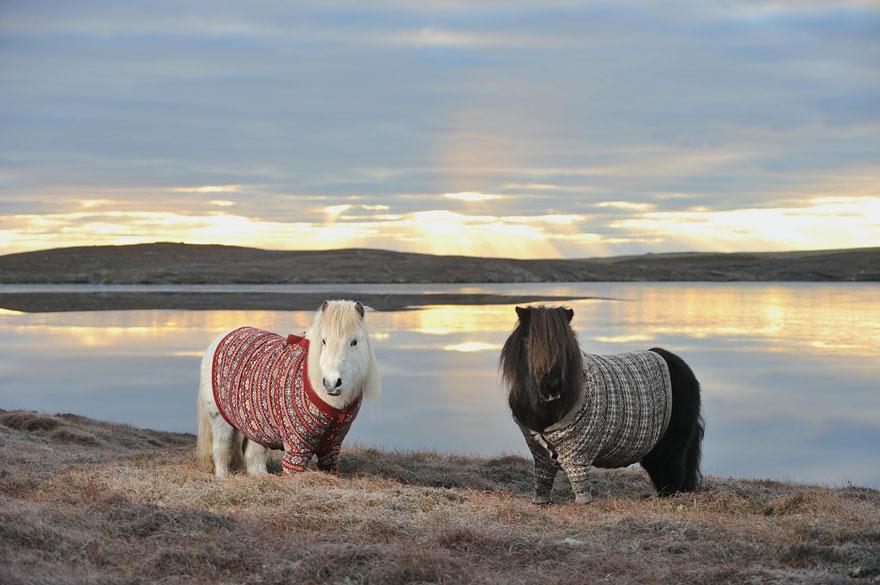 Shetlandskie_poni_odeli_svitera3