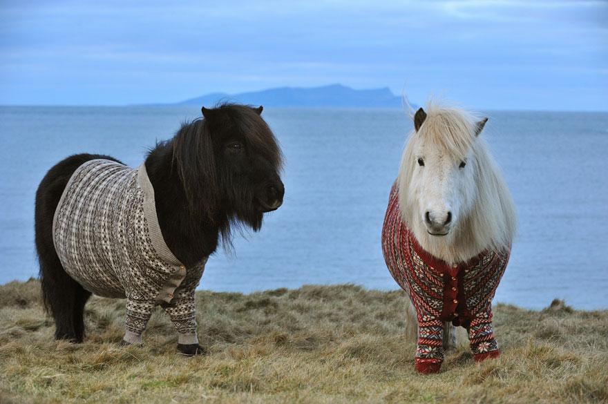 Shetlandskie_poni_odeli_svitera6