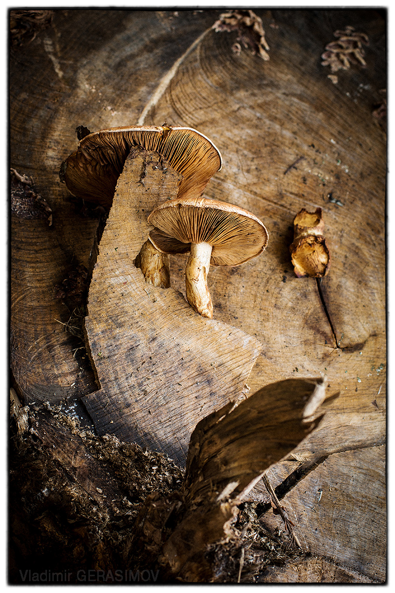 mushroom-border