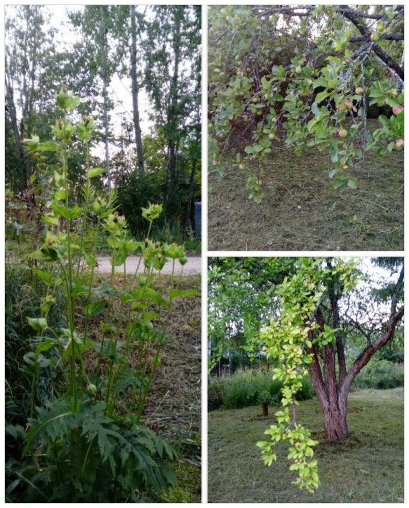 Яблони и неизвестное растение.